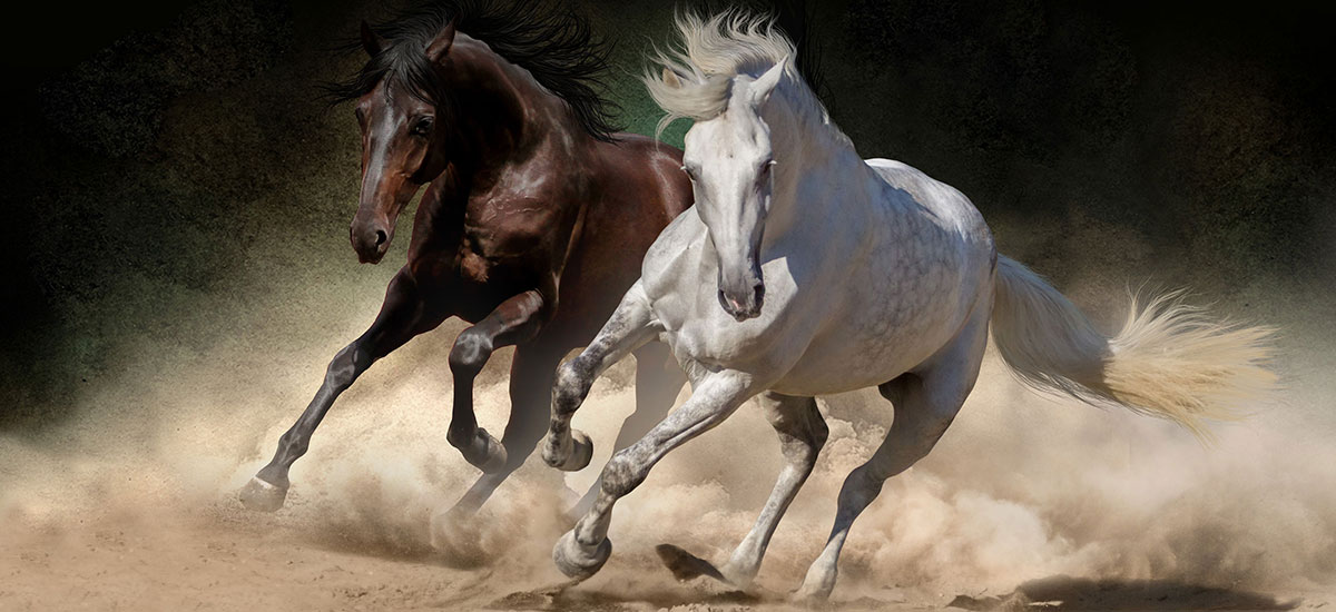 Andalusian horses running in Spain
